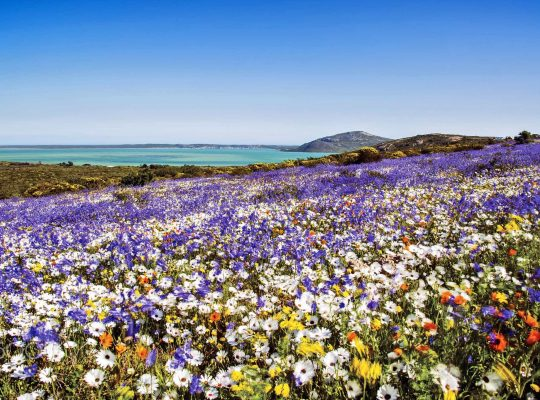 Enjoy the Western Cape flower season, safely